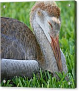 Napping Sandhill Baby Acrylic Print