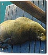 Napping Sea Lion Acrylic Print