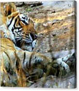 Naptime For A Bengal Tiger Acrylic Print