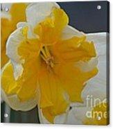 Narcissus 014-1 Acrylic Print