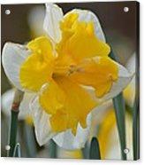 Narcissus 014-2 Acrylic Print