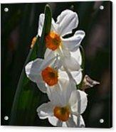 Narcissus Evening Glow Acrylic Print