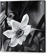 Narcissus In The Shadows Acrylic Print