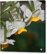 Narcissus Profile Acrylic Print