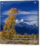 Narrowleaf Cottonwoods Fall Color Teton Acrylic Print
