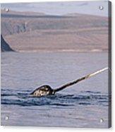 Narwhal Surfacing Baffin Isl Canada Acrylic Print