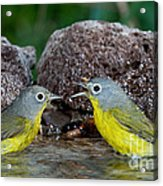 Nashville Warblers Vermivora Ruficapilla Acrylic Print