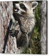 Nasty Raccoon In A Tree Acrylic Print