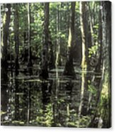 Natchez Trace Cypress Acrylic Print