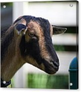 National Zoo - Goat - 01132 Acrylic Print
