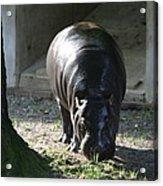 National Zoo - Hippopotamus - 12121 Acrylic Print
