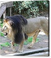 National Zoo - Lion - 011311 Acrylic Print by DC Photographer
