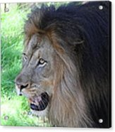 National Zoo - Lion - 011312 Acrylic Print by DC Photographer