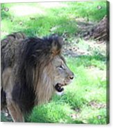 National Zoo - Lion - 01136 Acrylic Print by DC Photographer