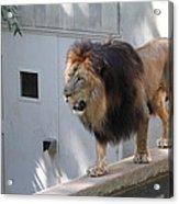National Zoo - Lion - 01138 Acrylic Print