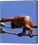 National Zoo - Orangutan - 011317 Acrylic Print