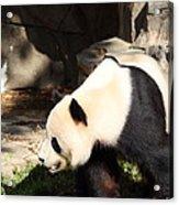 National Zoo - Panda - 011321 Acrylic Print