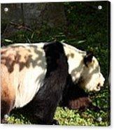 National Zoo - Panda - 011328 Acrylic Print