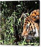 National Zoo - Tiger - 011311 Acrylic Print by DC Photographer