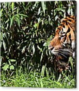 National Zoo - Tiger - 011312 Acrylic Print