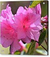 Native Roseshell Azalea Acrylic Print