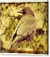 Natural Crow Acrylic Print