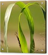 Natural Grass Acrylic Print