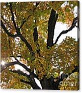 Natural Sunburst Through Autumn Tree Acrylic Print