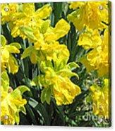 Naturalized Daffodils On The Farm Acrylic Print