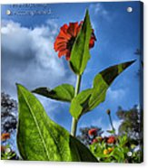 Nature Does Not Hurry Zinnia Standing Tall Acrylic Print