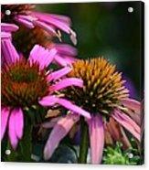 Nature Made Echinacea Acrylic Print