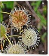 Nature's Delicate Orbs Acrylic Print