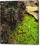 Nature's Moss And Sweetgum Pods Acrylic Print