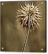 Natures Starburst Acrylic Print