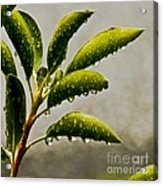 Natures Teardrops Acrylic Print