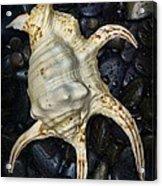 Nautical Tropical Seashell Acrylic Print