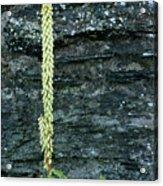 Navelwort And Maidenhair Spleenwort Acrylic Print
