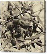 Nazareth Olives Israel Antiqued Acrylic Print