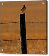 Nebraska's Bird Acrylic Print