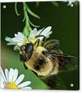 Nectar Collecting Drone Fly  Acrylic Print