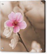 Nectarine Flower Blooming Acrylic Print