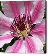 Nelly Moser Clematis Close Up Acrylic Print