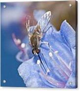 Nemestrinid Fly Feeding Acrylic Print
