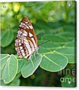 Neptis Hylas / Common Sailer Butterfly Acrylic Print