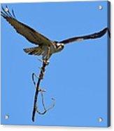 Nest Building Osprey Acrylic Print