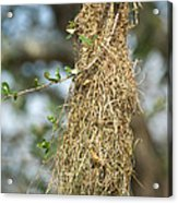 Nest Of Altamira Oriole Icterus Gularis Acrylic Print