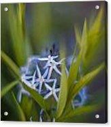 Nest Of Blue Stars Acrylic Print
