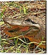 Nesting Alligator Acrylic Print