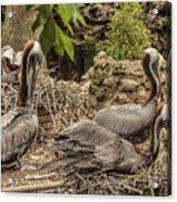 Nesting Brown Pelicans Acrylic Print