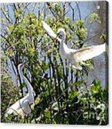 Nesting Great Egrets Acrylic Print